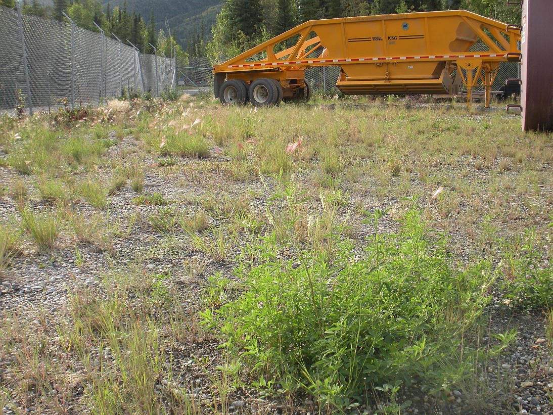 white sweetclover in an equipment staging area