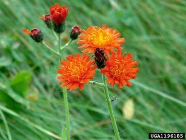 Hieracium aurantiacum flower
